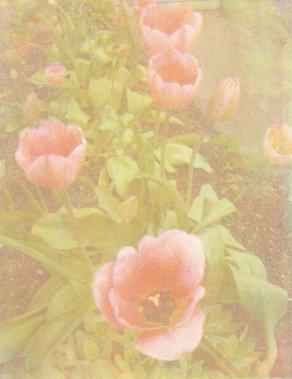 Tulips_gum2011